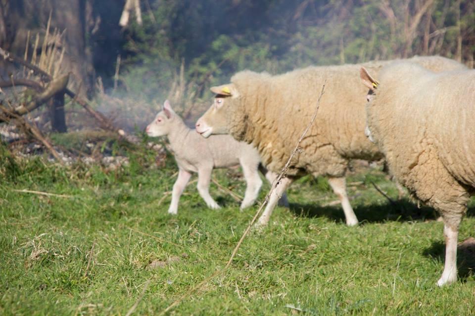 le clos giot gîte rural pas cher normandie cotentin saint vaast la hougue chèvre alpine animaux de la ferme brebis cotentines